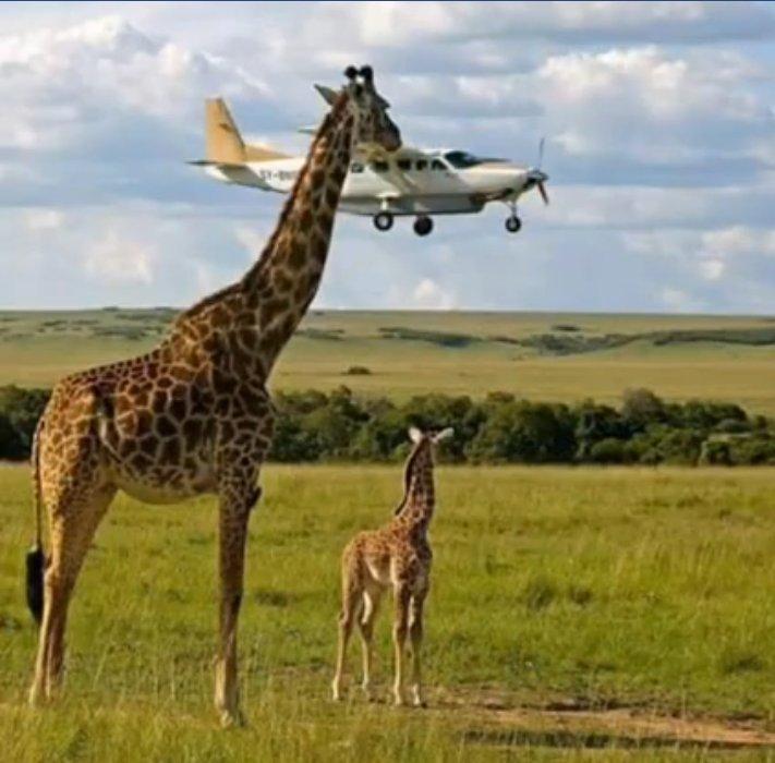 Giraffe bites plane.jpg