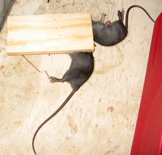 DC circuit for rat killer | Electronics Forum (Circuits, Projects ...